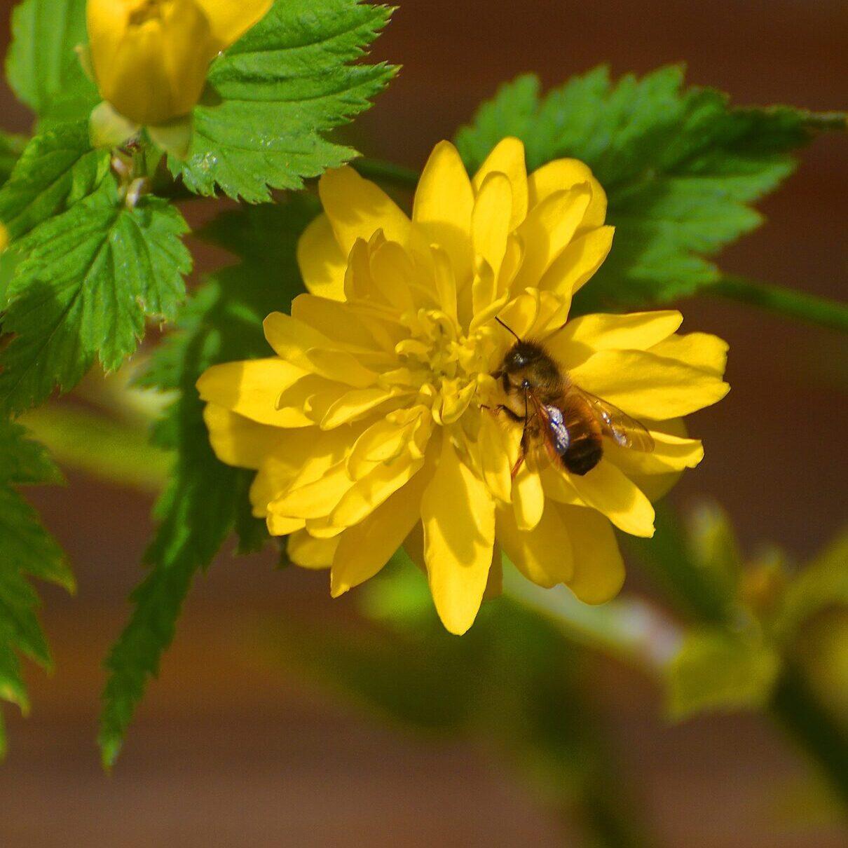Ranunkel mit Wildbiene