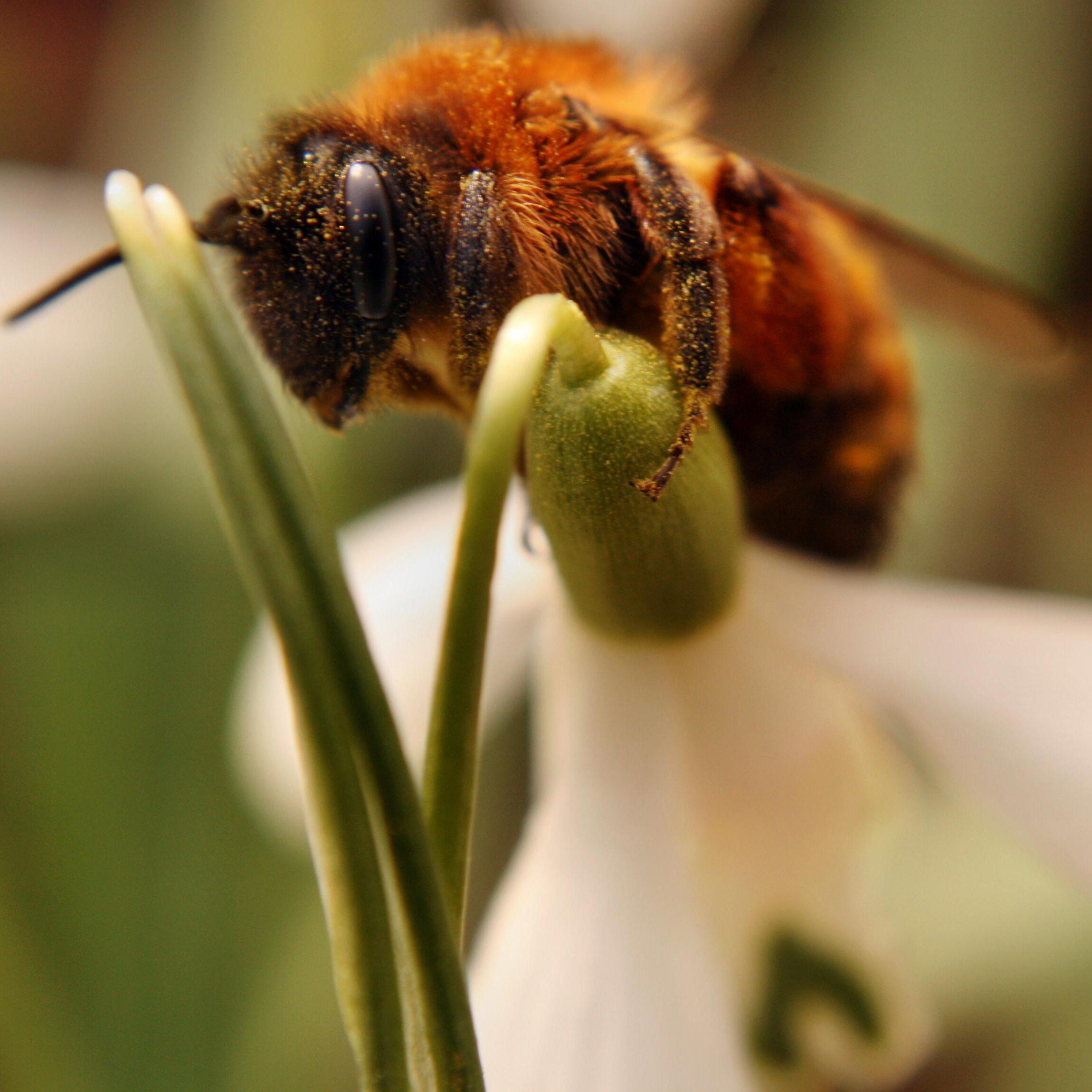 Wildbiene auf einem Schneeglöckchen